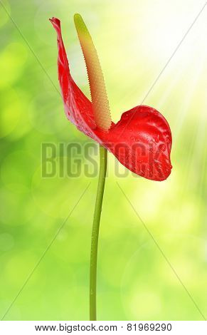 Dewy red anthurium flower