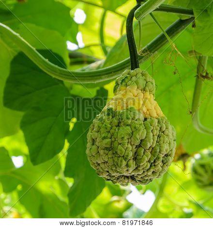 Pumpkin On Its Tree