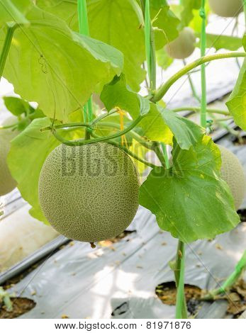 Melon Fruit On Its Tree