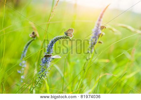Green Grass In The Meadow And Butterflies