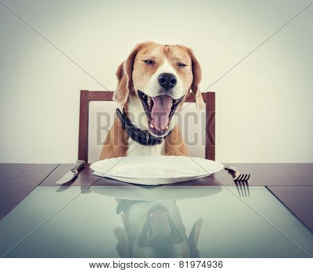 Yawning beagle dog tired to wait for the waiter