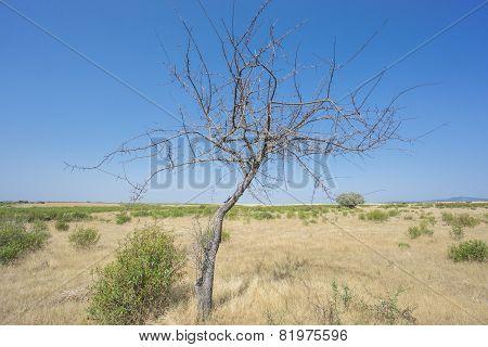Dead acacia tree, isolated, blue sky