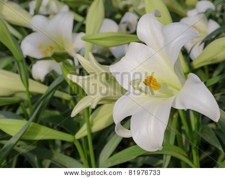 Lilium Longiflorum (easter Lily)