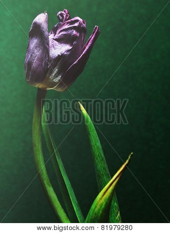wilted tulip flower on green abstract textured background