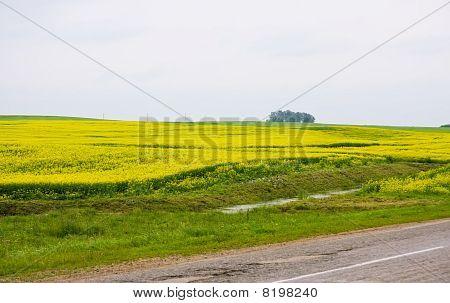 Road Through The Rape Field