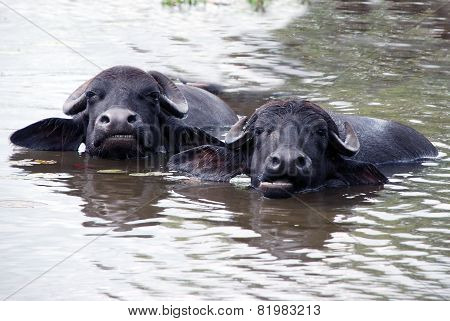 Muzzles of chewing buffalos are stick out of the water