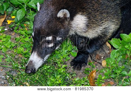 South American Coati (nasua Nasua)