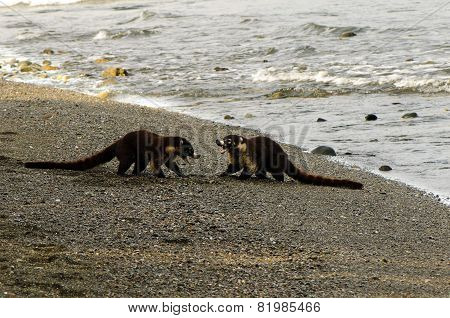 South American Coatis (nasua Nasua)