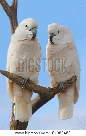 Two Cockatoos