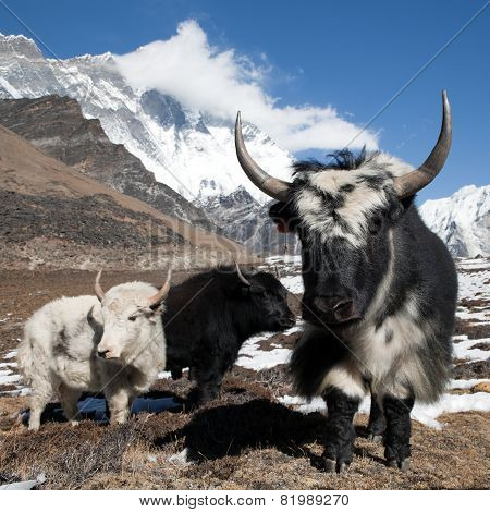 Yaks On The Way To Everest Base Camp And Mount Lhotse