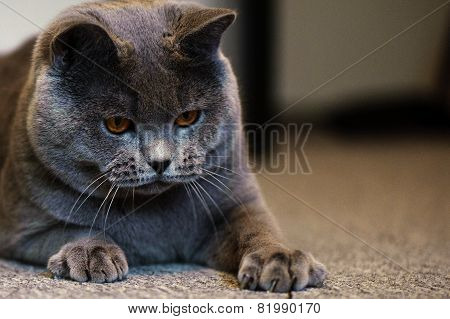 Cat breed British Shorthair Blue