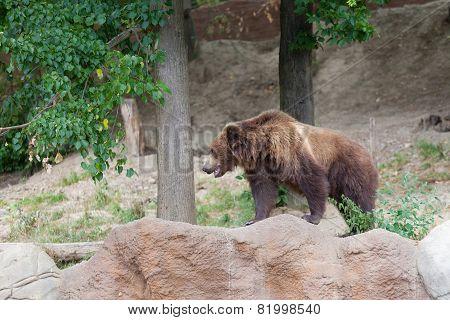 Big Kamchatka brown bear among stones