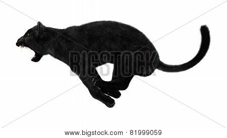 Hunting Black Panther