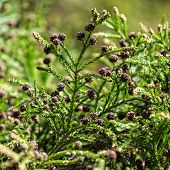 foto of bump  - Green Prickly Branches with Bumps of Coniferous Tree closeup - JPG
