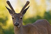 foto of blacktail  - Young blacktail buck in velvet against diffuse background - JPG
