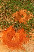 stock photo of fire ant  - Nest of ants on green grass at the park