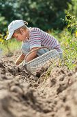 picture of potato-field  - Teenage farmer at root vegetables and potatoes harvesting - JPG