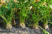 picture of root-crops  - Row of several root celery plants growing - JPG