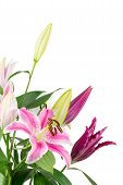 pic of stargazer-lilies  - Bouquet of fuchsia pink stargazer lilies isolated on white background - JPG