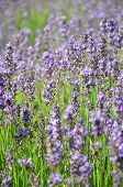 stock photo of lavender field  - Colorful and crisp image of lavender field