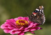 image of zinnias  - Red Admiral butterfly on purple zinnia flower - JPG