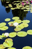 foto of lilly  - Beautiful water lillies in deep blue water - JPG