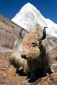 foto of yaks  - Yak on the way to Everest base camp and mount Pumo ri  - JPG