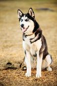 pic of eskimos  - Young Happy Husky Puppy Eskimo Dog Sitting In Dry Grass Outdoor In Autumn - JPG