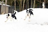 stock photo of husky  - Husky running in winter in the forest on snow backgound - JPG