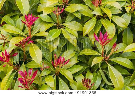 Plant Name Photinia Fraseri