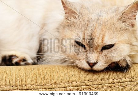 White Cat On A Sofa