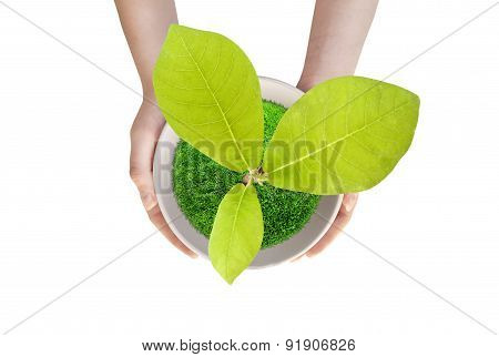 Pot Magnolia Isolated