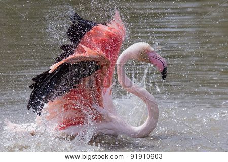 A Chilean Flamingo