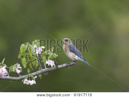 Female Eastern Bluebird and Pink Flowers