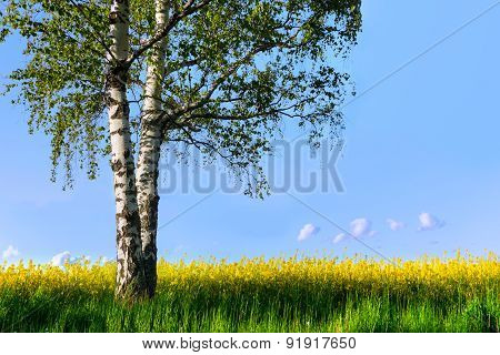 Birch Tree In Rapeseed Plant Field