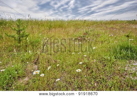 Field with daisies under gloomy sky