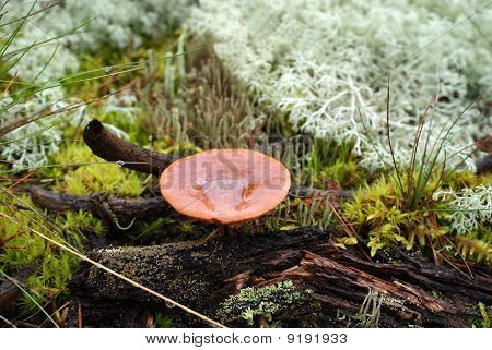 Milkcap Mushroom In Forest