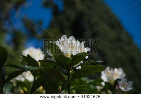Asian Plants: Beautiful White Rhododendron Blossoms Blooming In Spring Garden