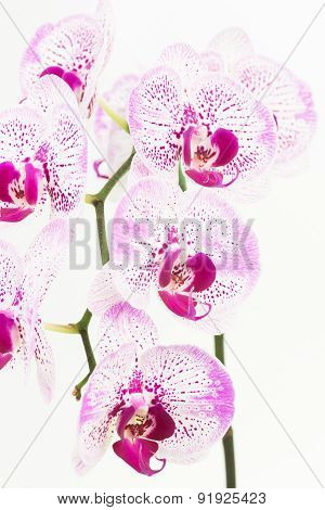 Purple And White Moth Orchids Close Up