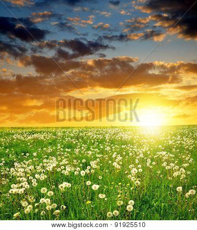 Dandelions field in the sunset