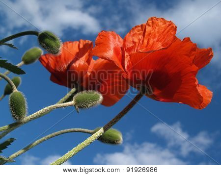 Pair of Red Poppies Reaching for Sky in Spring