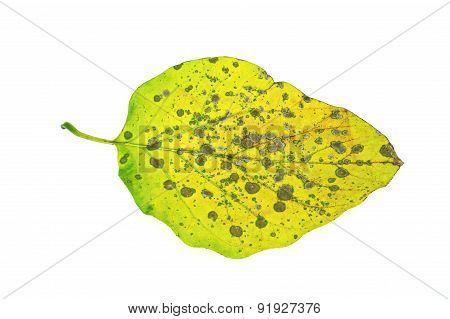 Diseased Ivy Leaf Isolated On White