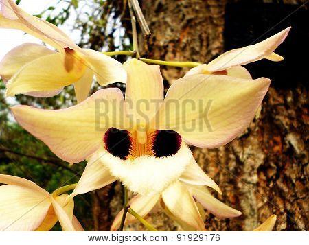 Orchidaceae Thai orchid