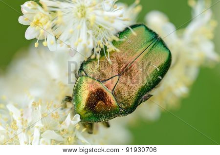 Iridescent Scarab On Flower