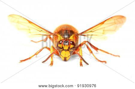 The European Hornet (Vespa crabro) on white background. Closeup  with shallow DOF.