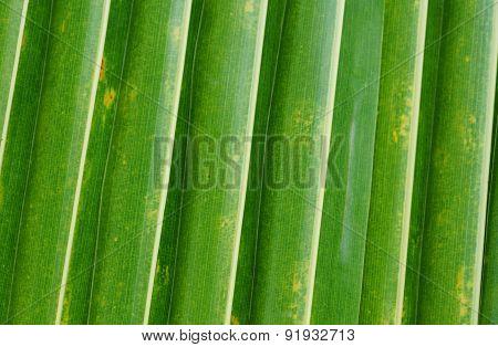 Palm Tree In Sainte Anne In Guadeloupe