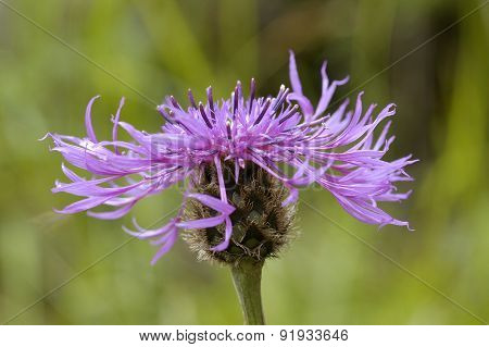 Doubtful Knapweed
