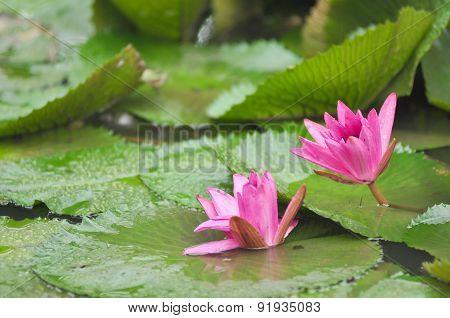 pink lotus on green background