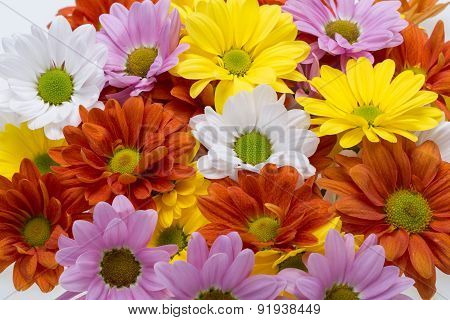 Close up of the colorful chrysanthemum flowers