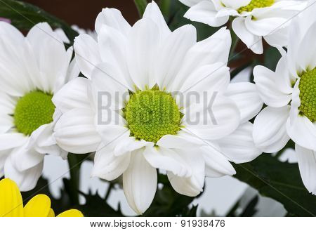 Close up of the white chrysanthemum flowers